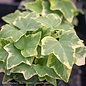 6p! Ivy Variegated Ivy - White /Tropical