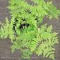 #1 Osmunda regalis var. spectabilis/Royal Fern
