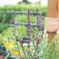 #1 Salvia Caradonna/Meadow Sage