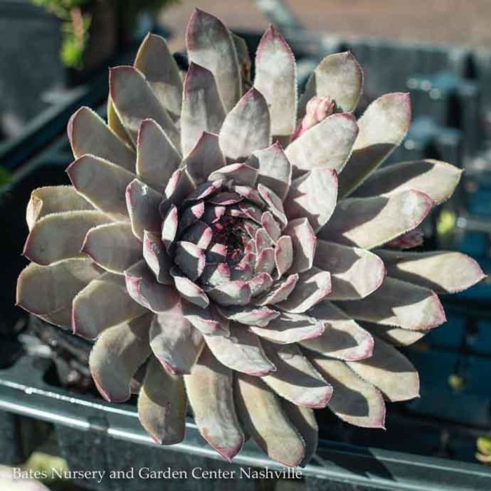 Succulent QP Sempervivum 'Grey Lady'/Hens and Chicks