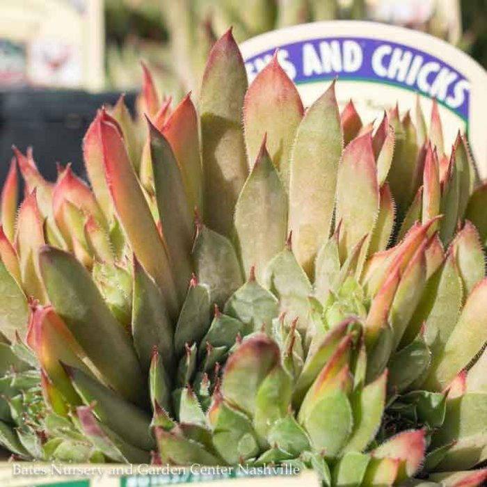 Succulent QP Sempervivum Kalinda / Hens and Chicks