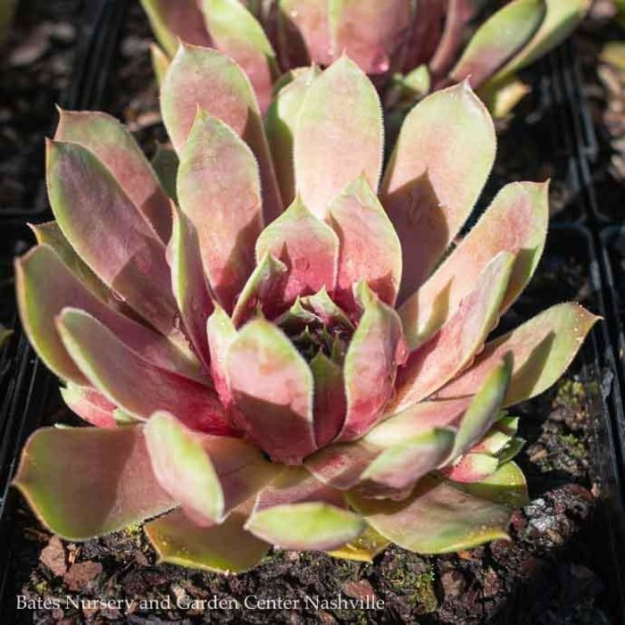 Succulent QP Sempervivum Silver King/Hens and Chicks