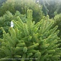#3 Picea abies Clanbrassiliana Stricta/Norway Spruce Tolleymore