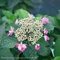 #3 Hydrangea ser Tiny Tuff Stuff Red/Mountain/Lacecap Rebloom