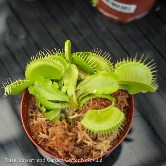 Carnivorous 3p! Venus Fly Trap /Tropical