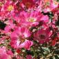 #3 Rosa Pink Drift/Shrub Rose No Warranty