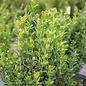 #3 Buxus micro var japonica Baby Gem/Dwarf Boxwood