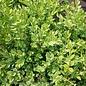 #15 Buxus x Glencoe/Chicagoland Green Boxwood