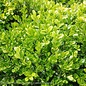 #2 Buxus micro. var. japonica Green Beauty/Boxwood