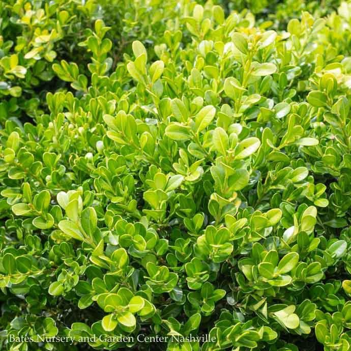 #1 Buxus micro. var. japonica Green Beauty/Boxwood