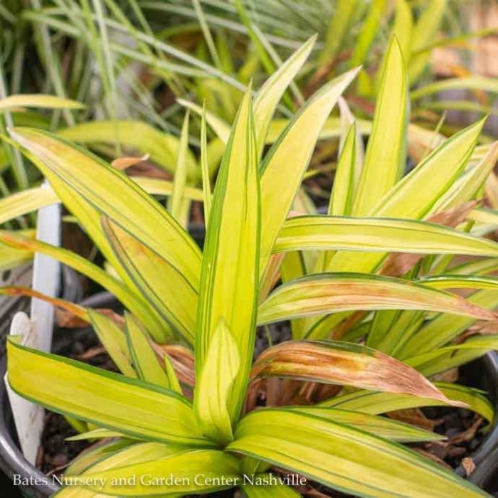 #1 Grass Carex Banana Boat/Sedge