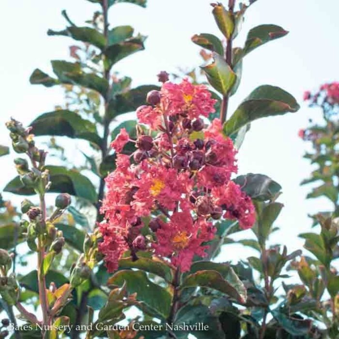 #15 Lagerstroemia Miss Frances/Red Crape Myrtle