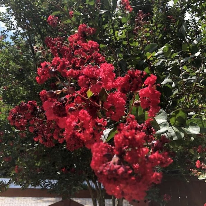 #5 Lagerstroemia Whit IV/Red Rocket Crape Myrtle Ruby-red