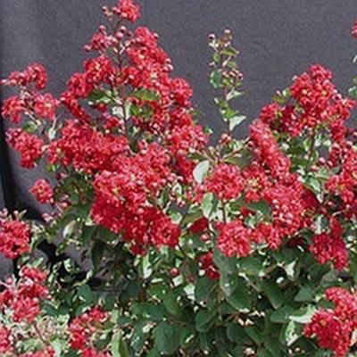 #3 Lagerstroemia Whit VII/Red Siren Crape Myrtle Oxblood-red