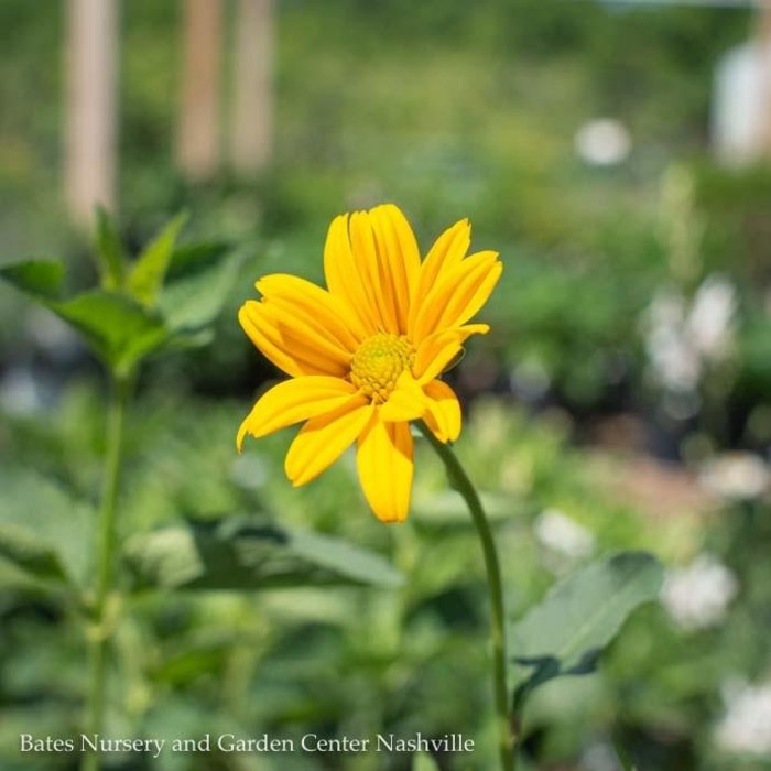 #1 Heliopsis Ox Eye/False Sunflower