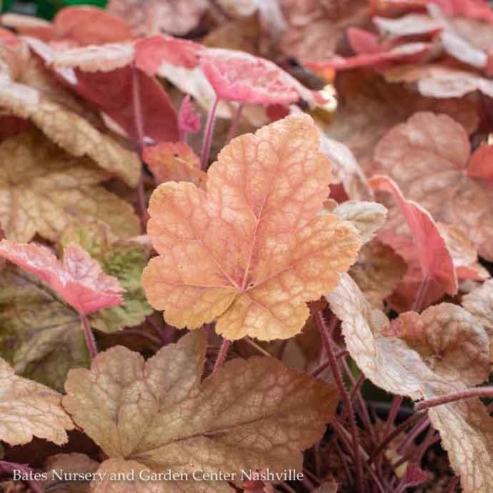#1 Heucherella Redstone Falls/Foamy Bell