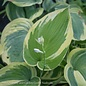#1 Hosta Earth Angel/Blue-Green w Cream