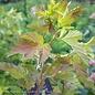 #3 Physocarpus Amber Jubilee/Ninebark