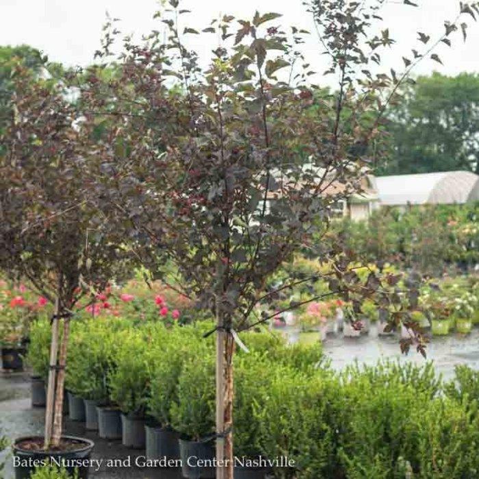 Topiary #15 PT Physocarpus op Diabolo/Ninebark Tree Form