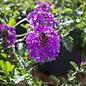 #1 Verbena Homestead Purple/Spreader