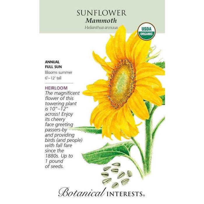 Seed Sunflower Mammoth Organic - Helianthus annuus - Lrg Pkt