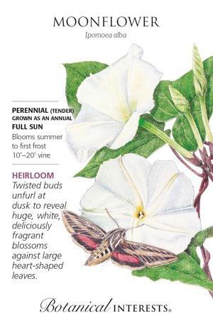 Seed Moonflower Heirloom - Ipomoea alba