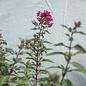 QP Phlox pan Starfire/Upright Garden