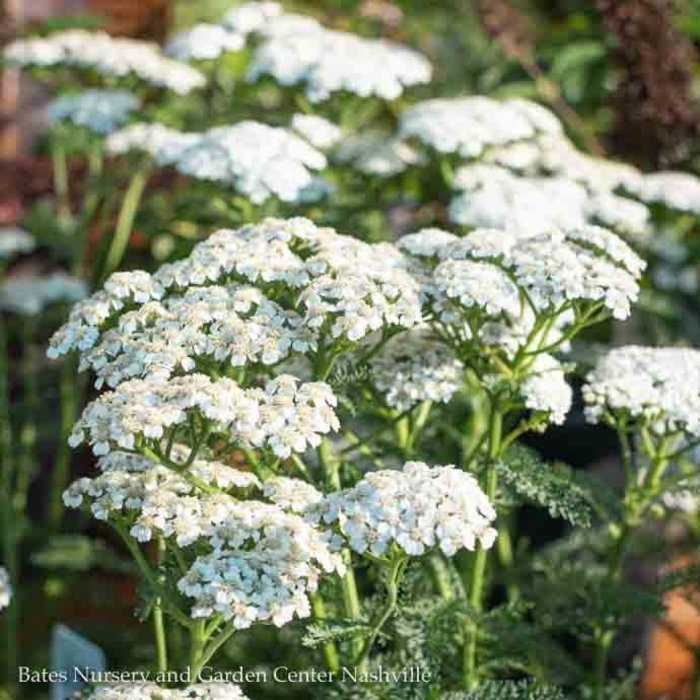 #1 Achillea New Vintage White/Yarrow