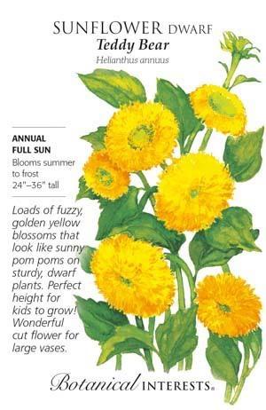 Seed Sunflower Dwarf Teddy Bear - Helianthus annuus