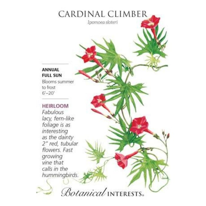 Seed Cardinal Climber Heirloom - Ipomoea x multifida