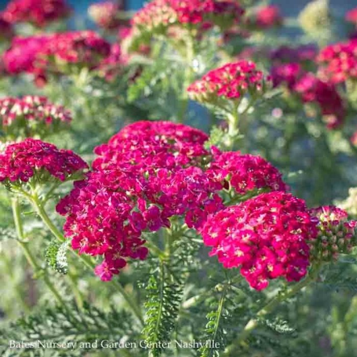 #1 Achillea Pomegranate/Yarrow