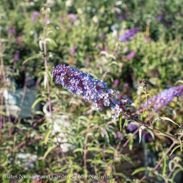 #3 Buddleia davidii Nanho Blue/Butterfly Bush