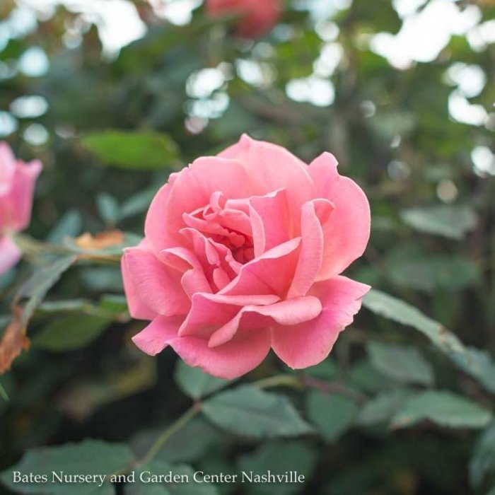#1 Rosa Knock Out Coral/Shrub Rose NO WARRANTY