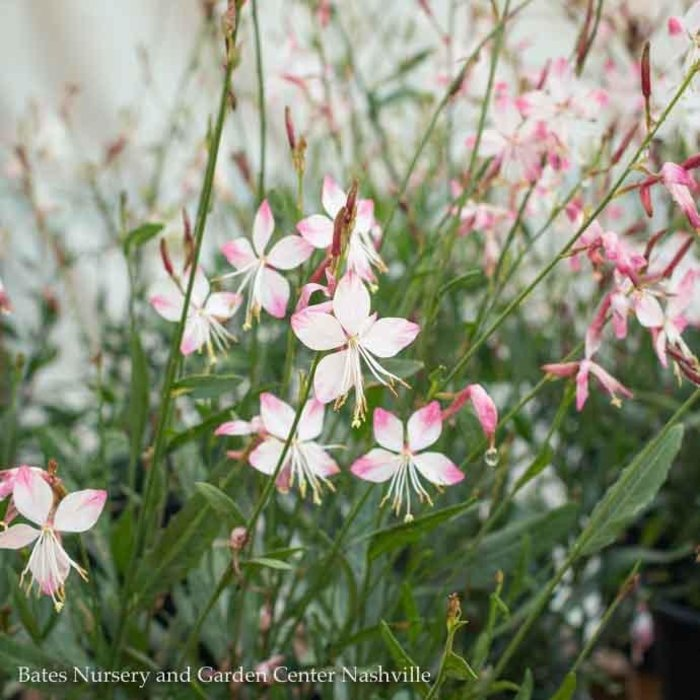 #1 Gaura Whirling Butterflies/White