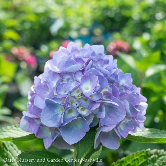 #3 Hydrangea mac Nikko Repeato Blue/Bigleaf/Mophead Blue to Pink