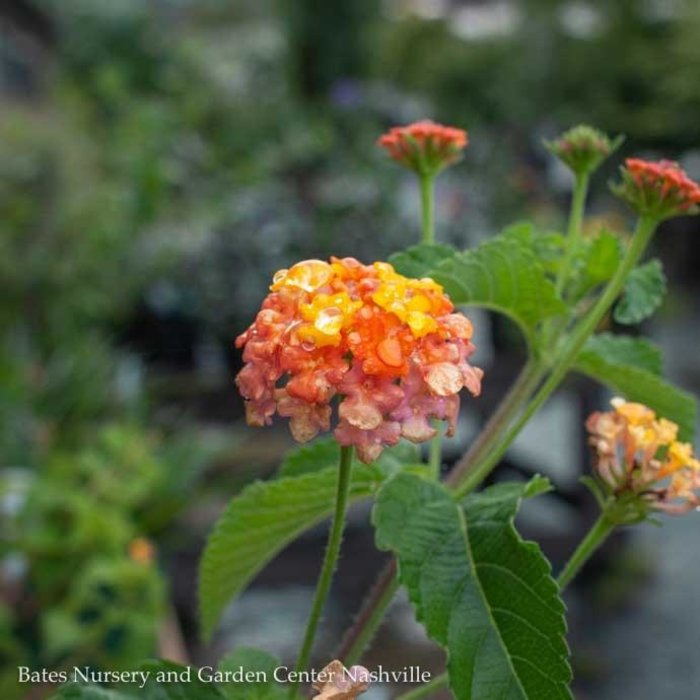 Tropical #1 Lantana cam. 'Miss Huff'/NO WARRANTY