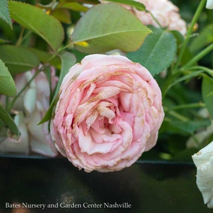 #3 STK Rosa Climbing Eden/Rose  No Warranty