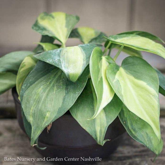 6p! Philodendron Brazilian /Tropical