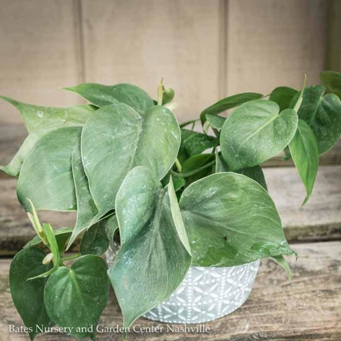 4p! Philodendron Asst /Tropical