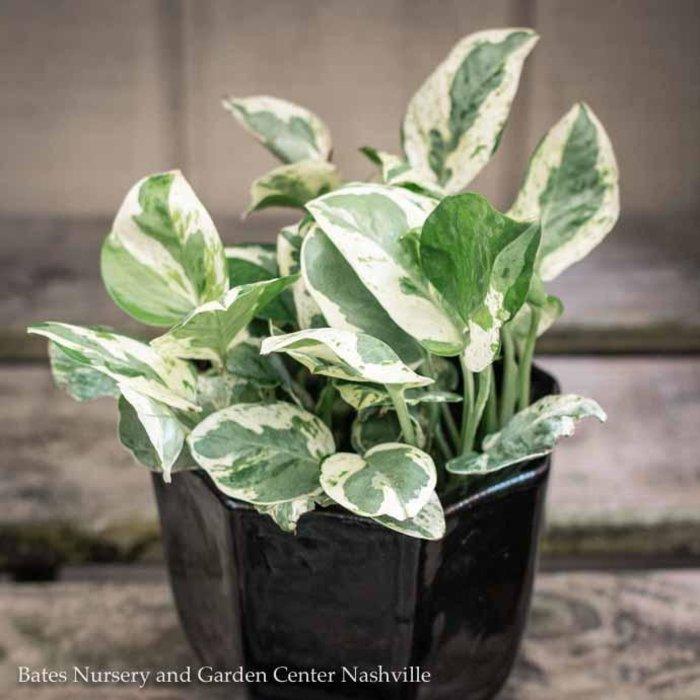 6p! Pothos Pearl & Jade /Devil's Ivy /Tropical