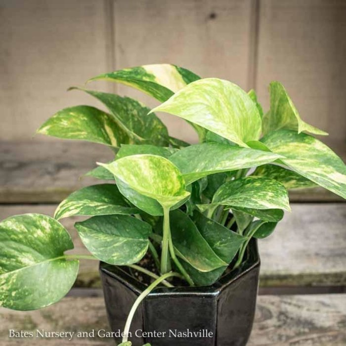 4p! Pothos Golden /Devil's Ivy /Tropical