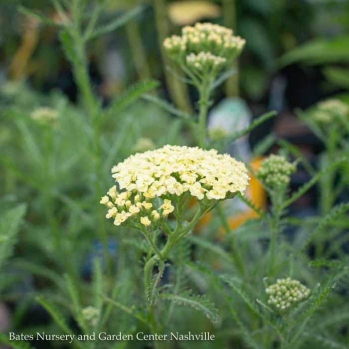 #1 Achillea Sunny Seduction<br /> /Yellow Yarrow