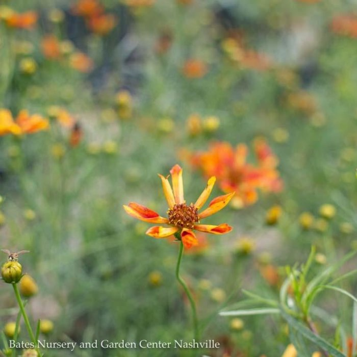 #1 Coreopsis Route 66/Tickseed