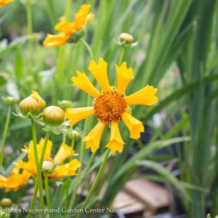 #1 Coreopsis Jethro Tull/Tickseed