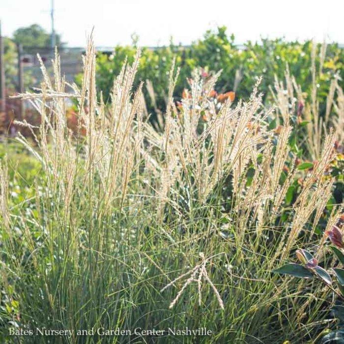 #5 Grass Miscanthus sine Yakushima/Dwarf Maiden