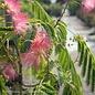 #5 Albizia julibrissin 'Ombrella'/Mimosa Tree