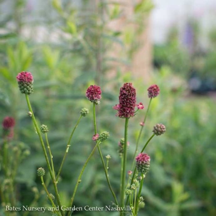 #1 Sanguisorba Proud Mary/Burnet
