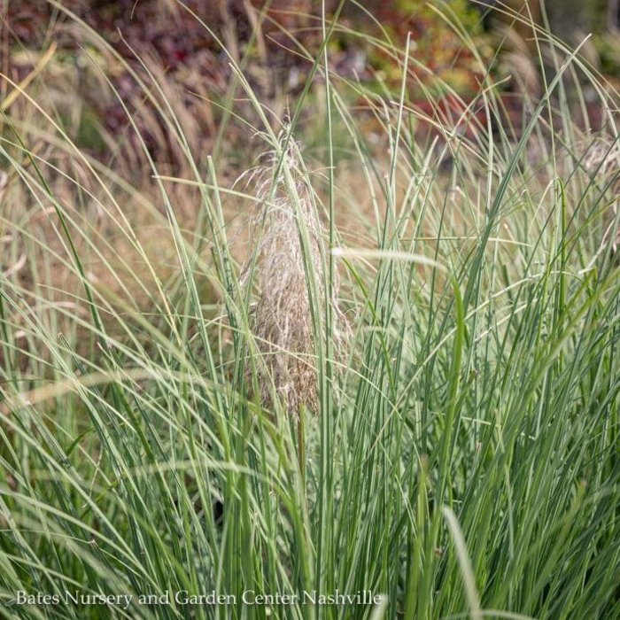 #1 Grass Panicum virg Dallas Blues/Switch