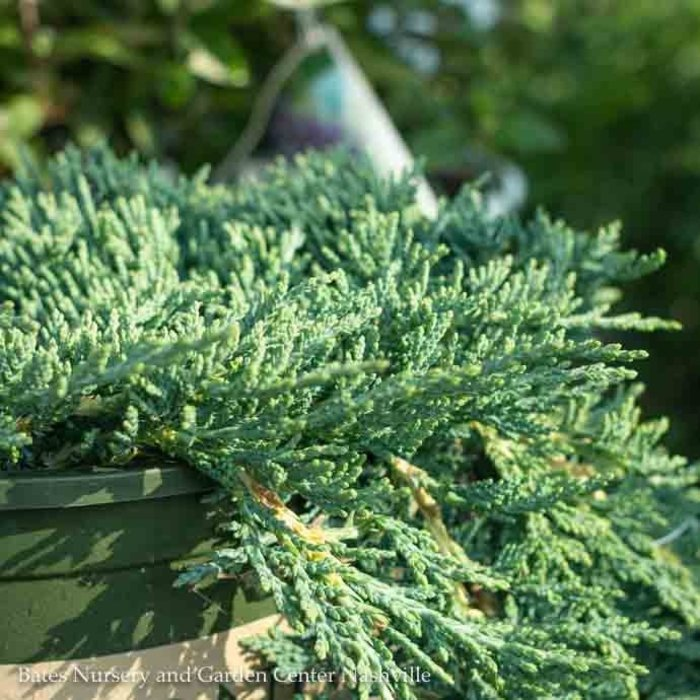 #1 Juniperus horiz Icee Blue/Creeping Juniper