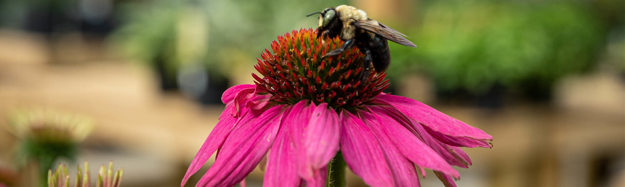 Pollinator friendly plants Nashville